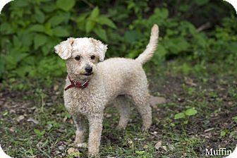 Miniature Poodle Mix Dog for adoption in Edmonton, Alberta - Muffin