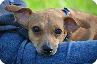 Dachshund/Chihuahua Mix Dog for adoption in Burbank, California - Rose