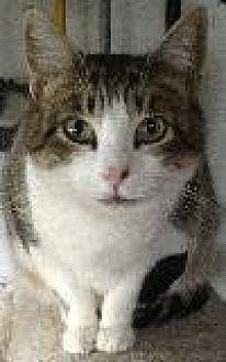 Domestic Shorthair Cat for adoption in Newtown, Pennsylvania - Daisy