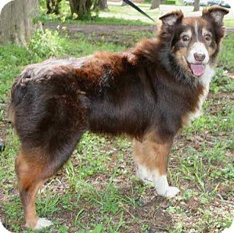 Australian Shepherd Dog for adoption in New Smyrna beach, Florida - Mavis