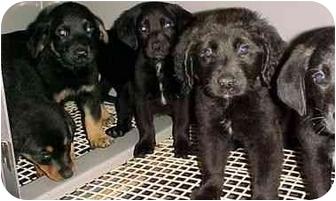 Labrador Retriever/Rottweiler Mix Puppy for adoption in North Judson, Indiana - 6 Puppies