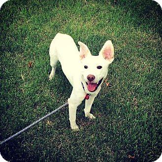 German Shepherd Dog Mix Dog for adoption in Chicago, Illinois - Peter