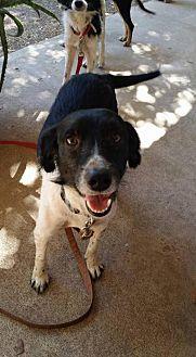 Border Collie Mix Dog for adoption in Houston, Texas - Beau