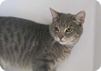 Domestic Shorthair Cat for adoption in Red Bluff, California - Reno