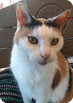 Calico Cat for adoption in Palatine, Illinois - Jesse