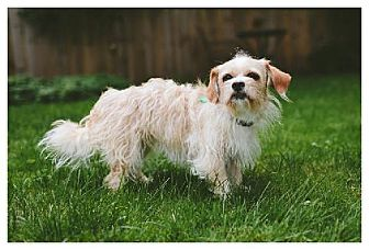 Dandie Dinmont Terrier/Shih Tzu Mix Dog for adoption in Buffalo, New York - Zoey