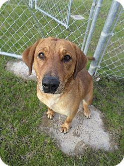 Golden Retriever/Hound (Unknown Type) Mix Dog for adoption in Cleveland, Mississippi - Underwood