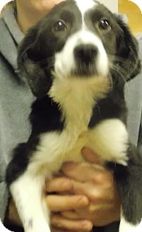 Border Collie Mix Puppy for adoption in Earlville, New York - Mollie