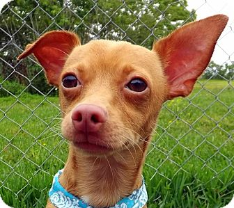 Chihuahua Mix Dog for adoption in San Leon, Texas - Zippy