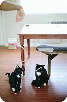 Domestic Shorthair Cat for adoption in Los Angeles, California - MAGNUS