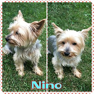 Yorkie, Yorkshire Terrier Dog for adoption in bridgeport, Connecticut - Nino