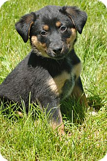 Rottweiler/Collie Mix Puppy for adoption in Kankakee, Illinois - Harley