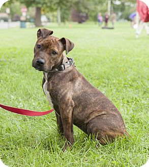 American Staffordshire Terrier/Boston Terrier Mix Dog for adoption in Glendale, Ohio - Active playmate; great runner