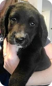 Labrador Retriever Puppy for adoption in New Smyrna Beach, Florida - Jack