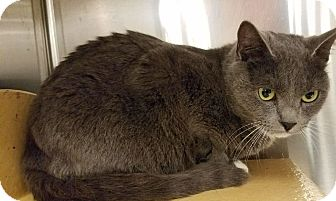 Domestic Shorthair Cat for adoption in Colonial Heights, Virginia - Tootsie