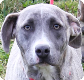 Hound (Unknown Type)/Pit Bull Terrier Mix Dog for adoption in Colonial Heights, Virginia - Bailey