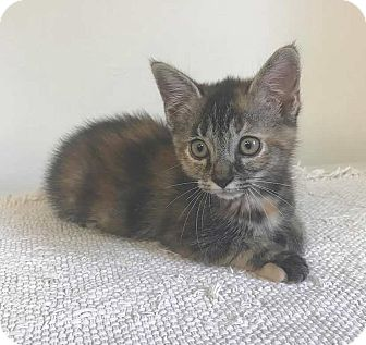 Domestic Shorthair Kitten for adoption in Albion, New York - Flora
