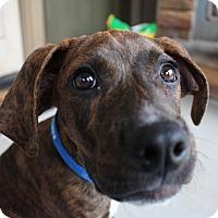 Adopt A Pet :: Lincoln $250 - Seneca, SC