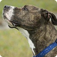 Adopt A Pet :: Stella - Potsdam, NY