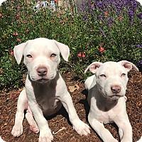 Adopt A Pet :: Elmo Biscuit - Lompoc, CA