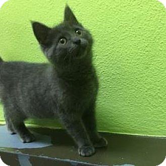 Domestic Shorthair Kitten for adoption in Janesville, Wisconsin - Sassafras