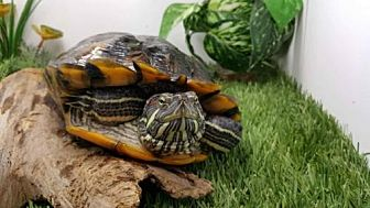 Turtle - Other for adoption in Pefferlaw, Ontario - Oscar