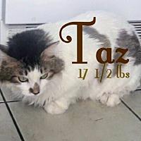 Adopt A Pet :: Taz (Bonded with Spaz - Las Vegas, NV