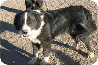 Border Collie Dog for adoption in San Pedro, California - BEAR