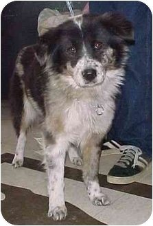 Anatolian Shepherd/Border Collie Mix Dog for adoption in North Judson, Indiana - Downy
