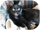 Domestic Shorthair Cat for adoption in Lexington, Missouri - Jewel