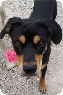 Rottweiler Mix Dog for adoption in Richmond, Illinois - JodyHOUSEBROKE