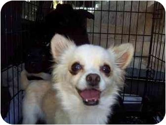 Chihuahua Mix Dog for adoption in Sherman Oaks, California - Tortilla