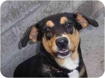 Border Collie/German Shepherd Dog Mix Dog for adoption in Lake Odessa, Michigan - Tammy