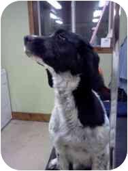 English Springer Spaniel Dog for adoption in Minneapolis, Minnesota - Bonnie (SD)