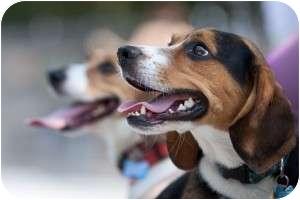 Beagle Dog for adoption in Yardley, Pennsylvania - Dakota
