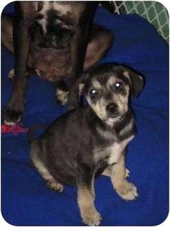 Labrador Retriever/Shepherd (Unknown Type) Mix Puppy for adoption in Bel Air, Maryland - Riley