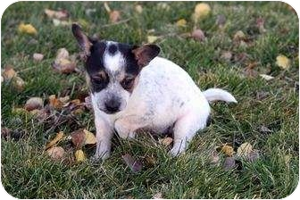 Jack Russell Terrier Mix Puppy for adoption in Westminster, Colorado - Zydeco
