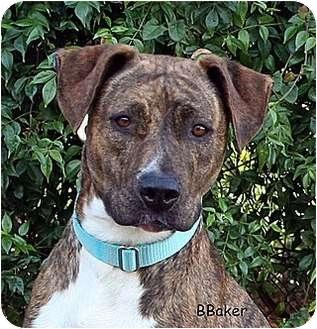 American Pit Bull Terrier Mix Dog for adoption in Santa Barbara, California - Bengal
