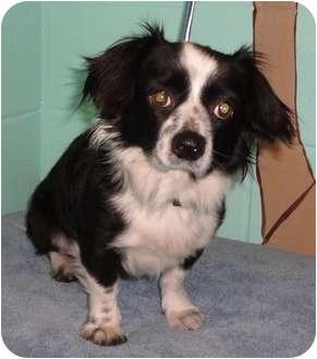 Papillon/Chihuahua Mix Dog for adoption in Orlando, Florida - Buddy