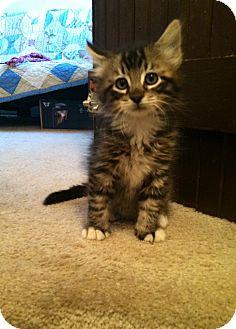 Domestic Longhair Kitten for adoption in Great Falls, Montana - Antonio