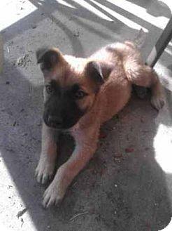 Labrador Retriever/German Shepherd Dog Mix Puppy for adoption in Long Beach, California - Samson