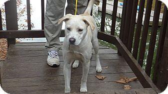 Labrador Retriever/Boxer Mix Dog for adoption in Raleigh, North Carolina - Zach