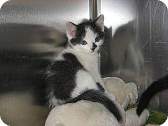 Domestic Shorthair Kitten for adoption in Ridgway, Colorado - Ross
