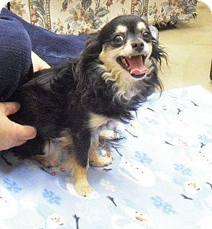 Chihuahua Mix Dog for adoption in Wickenburg, Arizona - Buddy