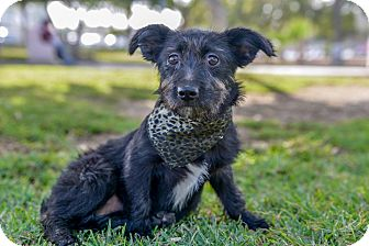 Scottie, Scottish Terrier/Terrier (Unknown Type, Small) Mix Puppy for adoption in Corona, California - SUSIE, watch my video!