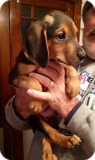 Beagle Mix Puppy for adoption in waterbury, Connecticut - RANGER