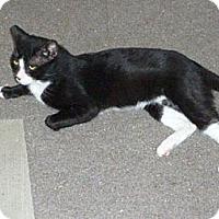 Domestic Mediumhair Cat for adoption in Monrovia, California - Sylvester