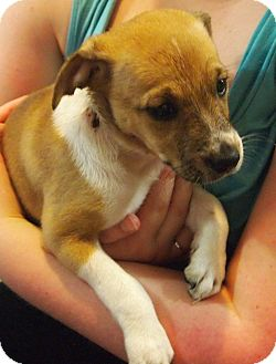 Brittany/Terrier (Unknown Type, Small) Mix Puppy for adoption in Prole, Iowa - Chessie