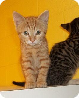 Domestic Shorthair Kitten for adoption in Warrenton, North Carolina - Alvin and Amber
