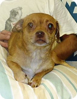 Chihuahua/Dachshund Mix Dog for adoption in Eastpoint, Florida - Chelsea